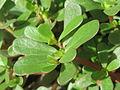 20150727Portulaca oleracea2.jpg