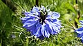 20160528 Whitstable - Nigella damascena 1.jpg