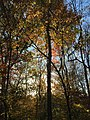 2017-11-10 15 53 25 View up into the canopy of several trees during late autumn within Hosepen Run Stream Valley Park in Oak Hill, Fairfax County, Virginia.jpg