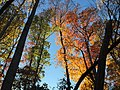 2017-11-10 15 58 44 View up into the canopy of several trees during late autumn within Hosepen Run Stream Valley Park in Oak Hill, Fairfax County, Virginia.jpg