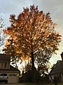 2017-11-19 16 20 43 A Pin Oak in late autumn along Kinross Circle near Kinbrace Road in the Chantilly Highlands section of Oak Hill, Fairfax County, Virginia.jpg
