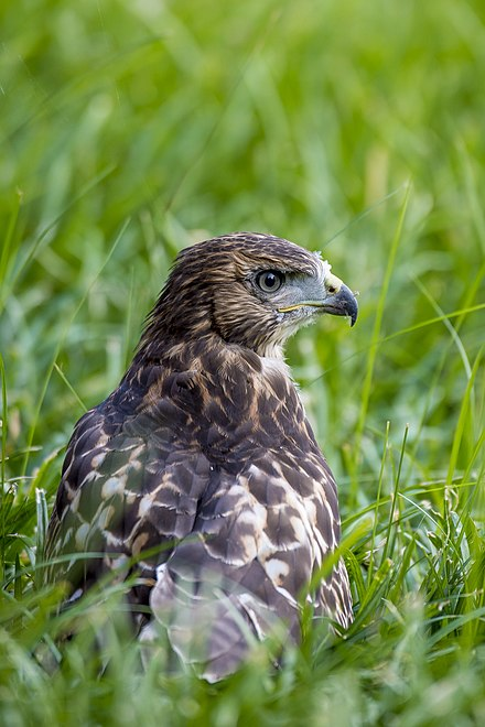 A recent fledgling on the ground, probably making its early hunting attempts. 20170614-OC-PJK-0418 (35262069466).jpg