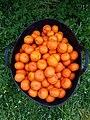 2019-01-20Cabàs ple de taronja Clementina a Vistabella, València.jpg