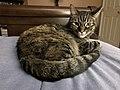 2019-11-30 23 18 17 A Tabby cat lying on a bed in the Franklin Farm section of Oak Hill, Fairfax County, Virginia.jpg