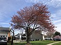 2020-03-22 13 54 13 A Red Maple heavily laden with immature seeds along Hidden Meadow Drive in the Franklin Glen section of Chantilly, Fairfax County, Virginia.jpg