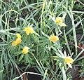 2020 02 15 gelb bluehende Pflanze.jpg
