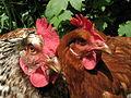 2chickens.jpg