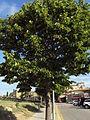 306-4-Tree in Pals.JPG