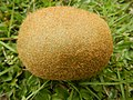 3325Cross sections of kiwifruits 03.jpg