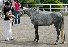 A standing grey pony with a girl holding the lead rope.