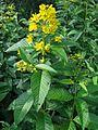 4814-lysimachia vulgaris-20110711.JPG