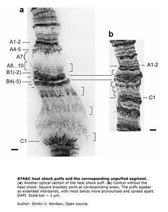 Polytene chromosome - Image: 87AC polytene heatshock puffs 1