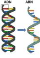 ADN-ARN.png