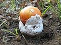 AMANITA CAESAREA (Scorp. Fr.) Quelet (5981758756).jpg