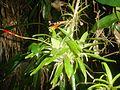 APA Guaraqueçaba - Bromeliaceae.JPG