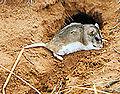 ARCH rodent.jpg
