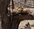 A Pair of Raccoon's Sleeping Red Hill Valley.JPG