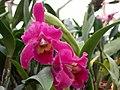A and B Larsen orchids - Brassolaeliocattleya Korat Sunset DSCN4417.JPG
