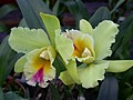 A and B Larsen orchids - Brassolaeliocattleya Suan Puttan DSCN4523.JPG