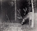 A bull elk catches a camera string in his antlers, triggering a flash.jpg
