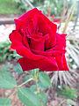 A grande rosa vermelha.jpg
