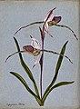 A lady's slipper orchid (Cypripedium Stoneii); flowering ste Wellcome V0043285.jpg