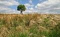 A lone tree at Byre Sike - geograph.org.uk - 826055.jpg