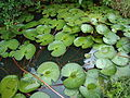 A pool with water lilly leaves.JPG