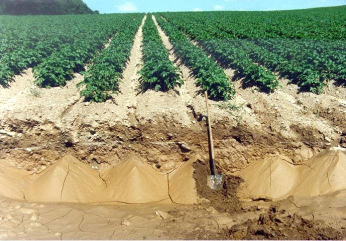 A potato field with soil erosion