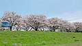 A row of cherry blossom trees on the right bank of the Ono River 20210401 2.jpg