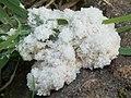 A slime mould - Mucilago crustacea - geograph.org.uk - 950062.jpg