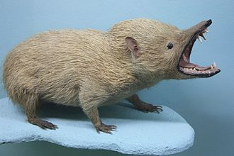 Tenrec - A taxidermy of a tenrec in defensive mode, Horniman Museum and Gardens, London
