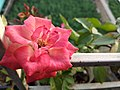 A variety of bangladeshi rose (3).jpg