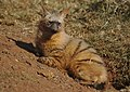Aardwolf, Proteles cristata, at Lion and Rhino Reserve, Gauteng, South Africa (47987211023).jpg