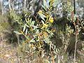 Acacia buxifolia (5103649762).jpg
