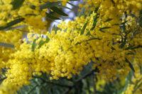 Acacia covenyi02