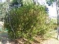 Acacia dodonaeifolia.jpg