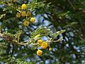 Acacia nilotica ssp. tomentosa (2135464178).jpg