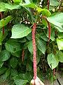 Acalypha hispida, cat's tail, പൂച്ചവാലൻ 3.jpg
