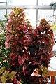 Acalypha wilkesiana Macafeeana 3zz.jpg