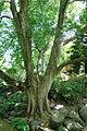 Acer buergerianum - Morris Arboretum - DSC00401.JPG