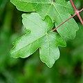 Acer campestre in Aveyron (4).jpg