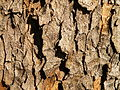 Acer obtusatum (47).JPG
