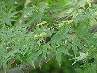 Acer palmatum0