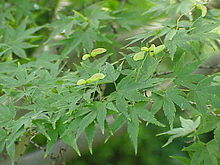 Japanese Maple foliage