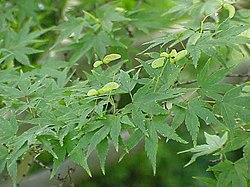 Acer palmatum0.jpg