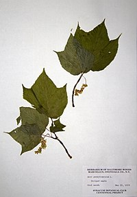 Acer pensylvanicum BW-1979-0522-9851.jpg