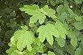 Acer pseudoplatanus (Erable sycomore).jpg