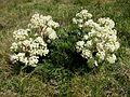 Aciphylla glacialis 1028.jpg