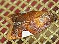 Acleris holmiana - Golden leafroller moth - Плоская листовёртка белопятнистая (41334512231).jpg